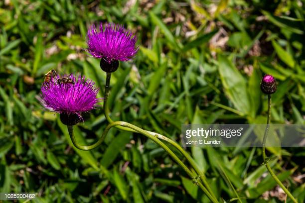Musk Thistle or Carduus nutans, Nodding Thistle, Formosa Thistle is known for its purple flowers although it grows wild. The large flower heads droop...