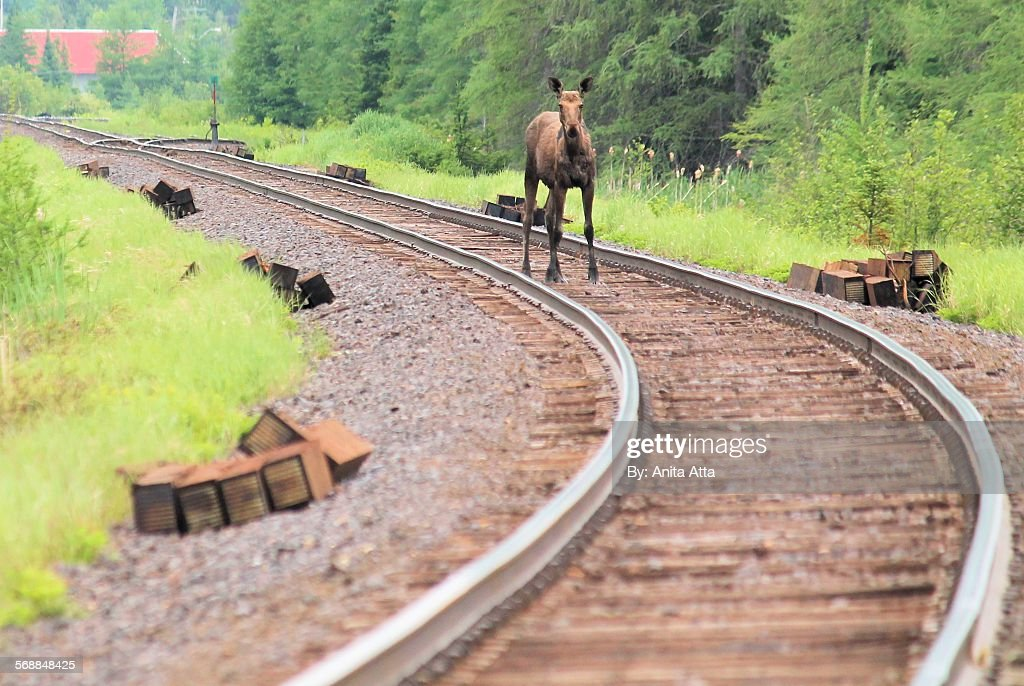 Muskoka moose on train tracks : Stock Photo
