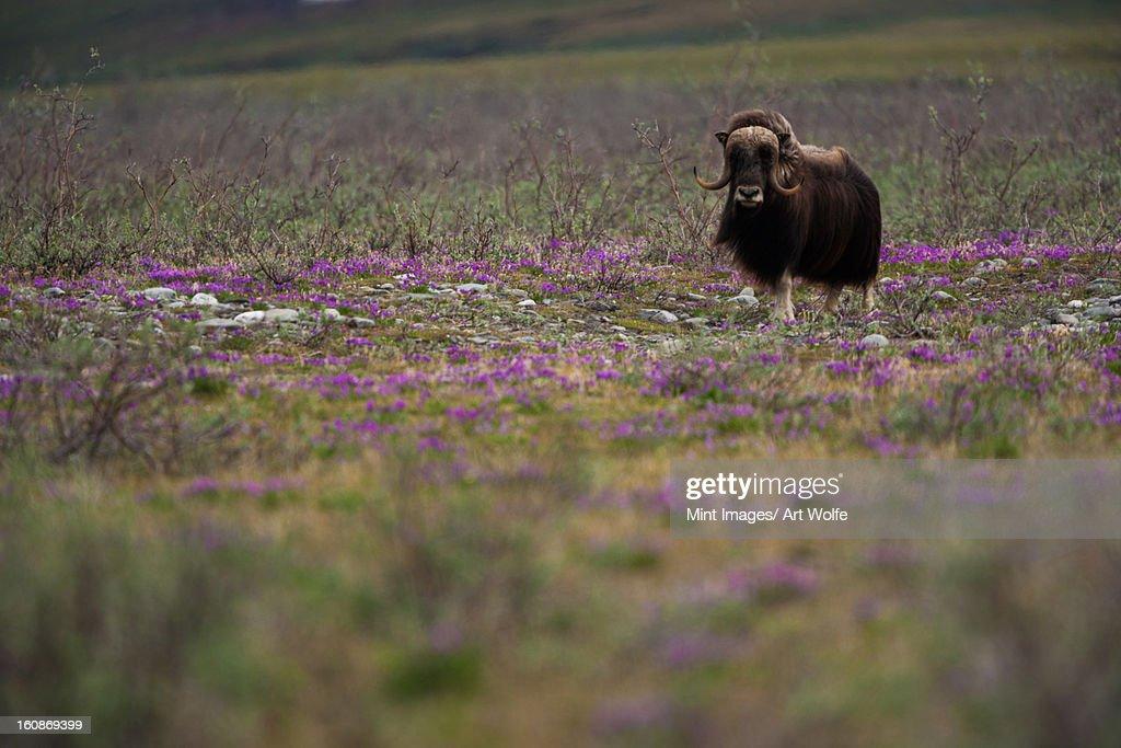 Muskox, Arctic National Wildlife Refuge, Alaska : Stock Photo