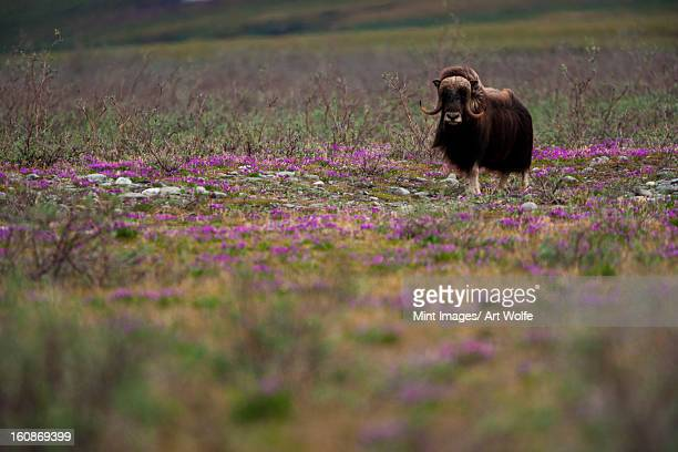 muskox, arctic national wildlife refuge, alaska - musk ox stock photos and pictures