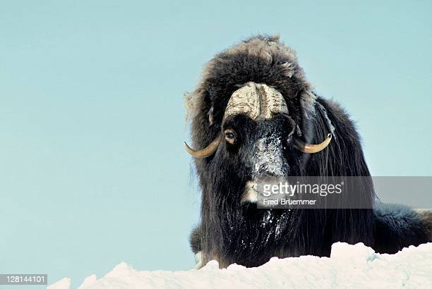 muskox bull in snow. ovibos moschatus - musk ox stock photos and pictures