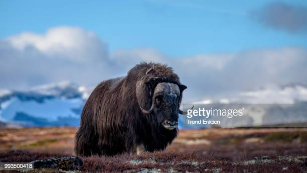 muskox dovre mountain - musk ox stock photos and pictures