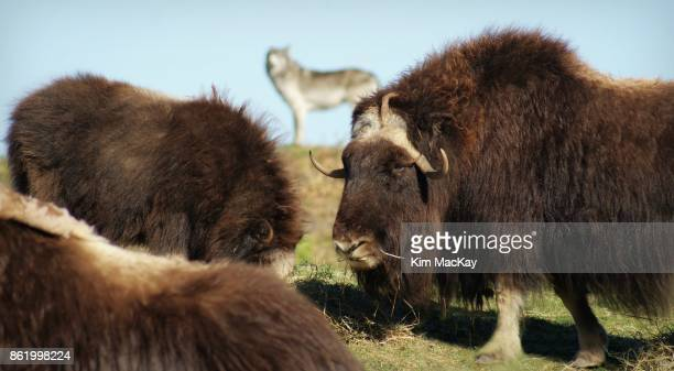 muskox grazing, timber wolf in the distance - musk ox stock photos and pictures