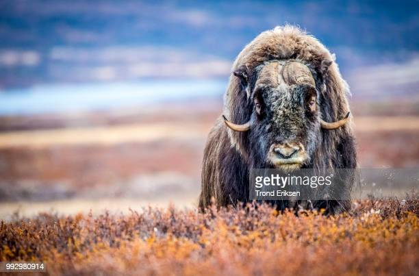 a muskox in a rural field in norway. - musk ox stock photos and pictures