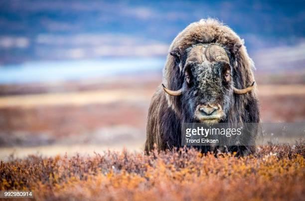 A Muskox in a rural field in Norway.