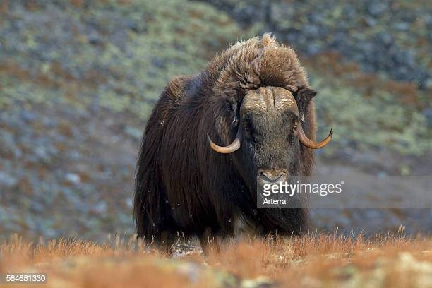 "Muskox male on the tundra in autumn Dovrefjell_""_Sunndalsfjella National Park Norway"