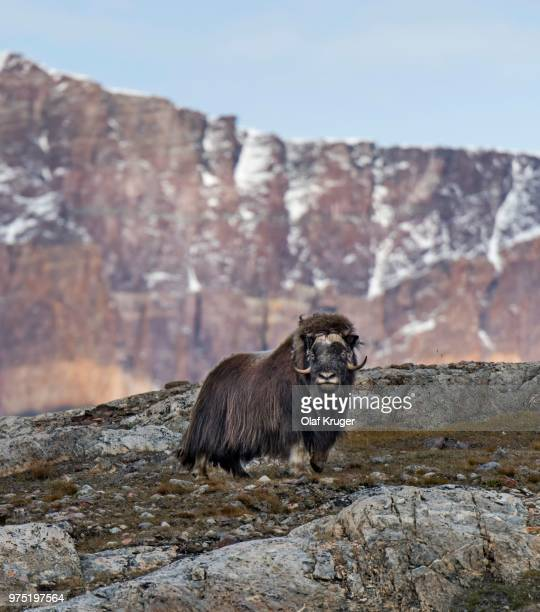 muskox (ovibos moschatus) standing in mountain landscape, blomsterbugten, ymers, kejser franz joseph fjord, northeast greenland national park, greenland - northeast stock photos and pictures