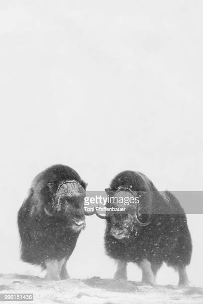 muskoxen (ovibos moschatus) in a snow storm, dovrefjell-sunndalsfjella national park, norway - musk ox stock photos and pictures