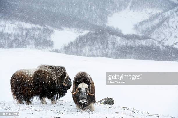 muskoxen (ovibos moschatus) - musk ox stock photos and pictures