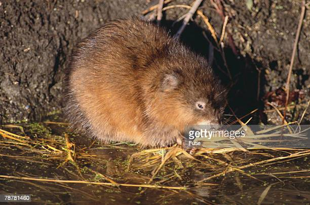 muskrat eating grass - muskrat stock photos and pictures