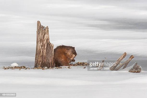 muskrat eating - muskrat stock photos and pictures