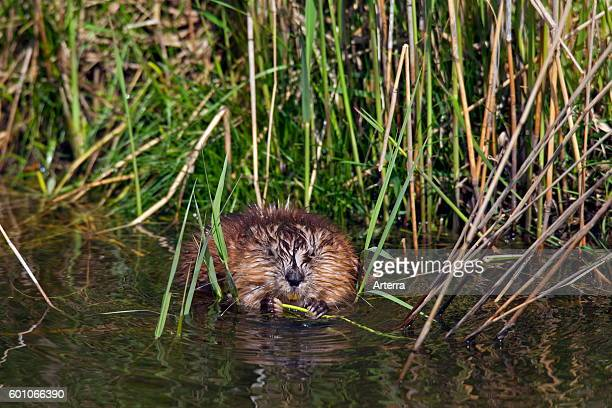 Muskrat exotic introduced species native to North America foraging along riverbank