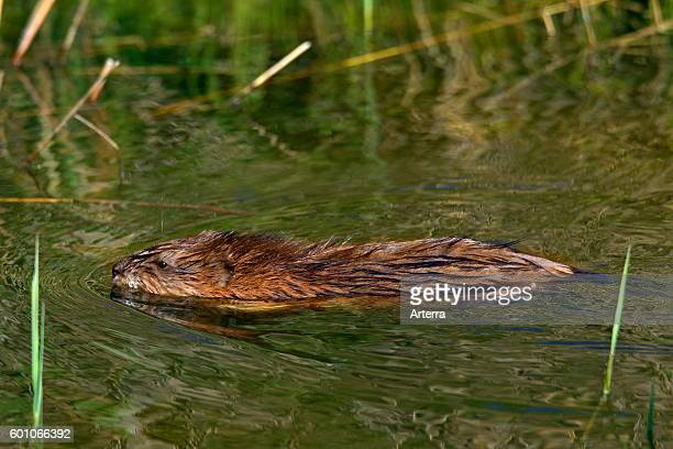 Muskrat exotic introduced species native to North America swimming in wetland