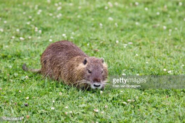 muskrat in grass field - muskrat stock photos and pictures