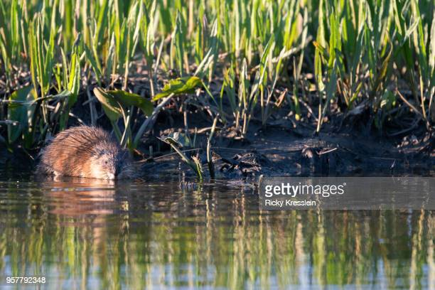 muskrat in water - muskrat stock photos and pictures