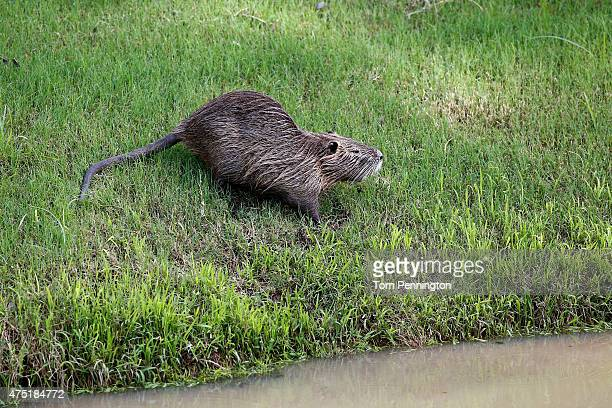 A muskrat is seen near flooded pathways during Round Two of the ATT Byron Nelson at the TPC Four Seasons Resort Las Colinas on May 29 2015 in Irving...