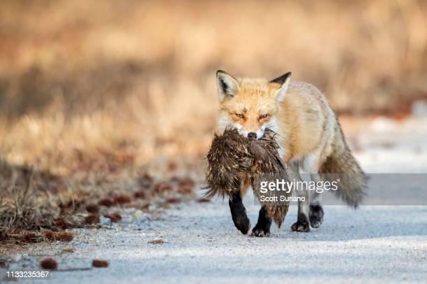 muskrat love - animales cazando fotografías e imágenes de stock