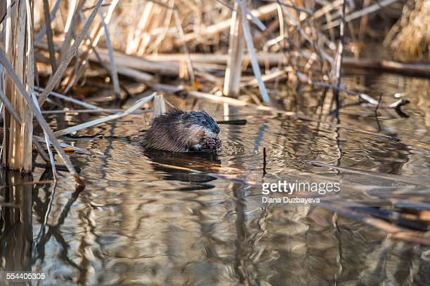 muskrat on the lakeshore - muskrat stock photos and pictures