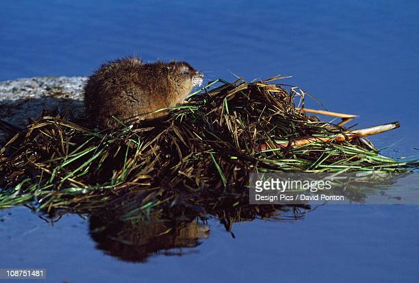 muskrat on top of acquatic hut it has built in a pond - muskrat stock photos and pictures