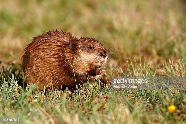 muskrat -ondatra zibethicus-, adult sitting on the shore of a pond eating grass, illmitz, lake neusiedl, burgenland, austria, europe - muskrat stock photos and pictures