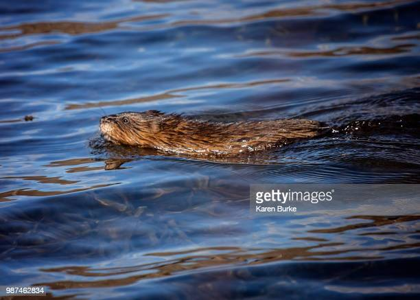 muskrat - muskrat stock photos and pictures