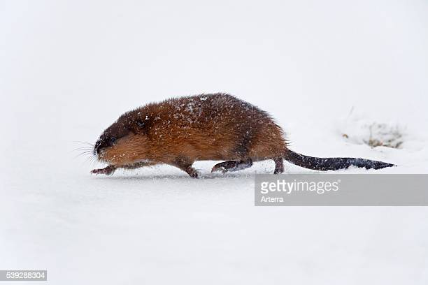 Muskrat running in the snow in winter Germany
