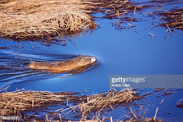 muskrat swimming in blue water - muskrat stock photos and pictures