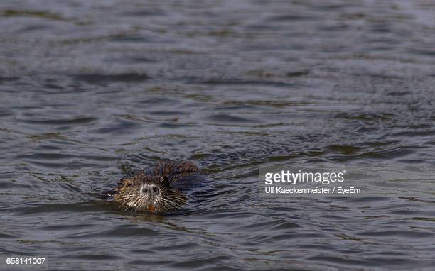 muskrat swimming in river - muskrat stock photos and pictures