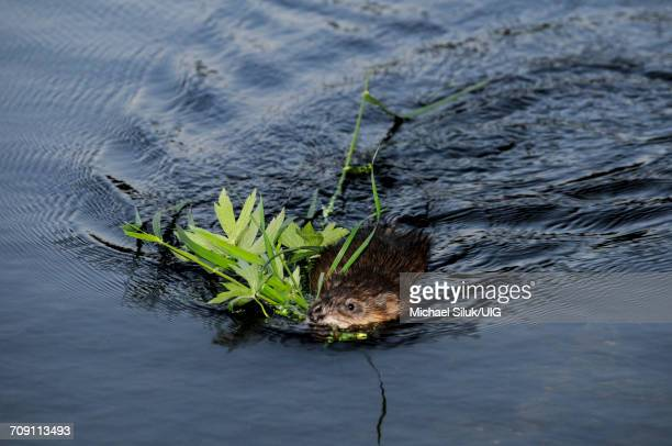 muskrat with a mouthful of vegetation for food and his den site - muskrat stock photos and pictures
