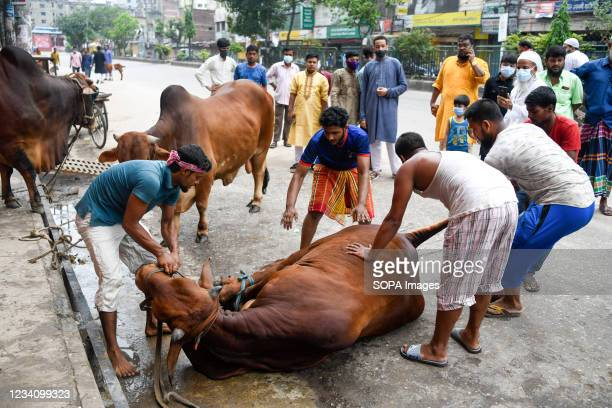Muslims prepare to slaughter a sacrificial animal during the Muslim festival Eid al-Adha or the 'Festival of Sacrifice in Dhaka.
