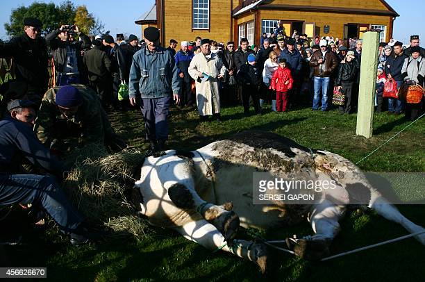 Muslims sacrifice a bull outside the mosque after prayers on the first day of the Eid alAdha in the village of Ivye some 125 km outside Minsk on...