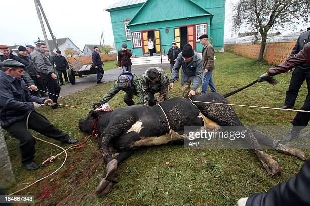 Muslims sacrifice a cow outside the mosque after prayers on the first day of the Eid alAdha in the village of Ivye some 125 km outside Minsk on...