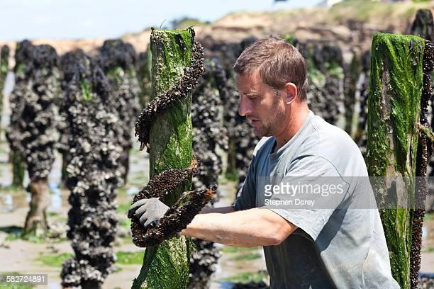 Mussel farming, Loire-Atlantique, France