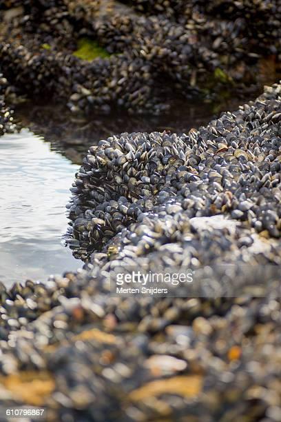mussels growing on beach boulders - merten snijders stockfoto's en -beelden