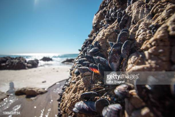 mussels on rock against ocean beach - mussel stock pictures, royalty-free photos & images