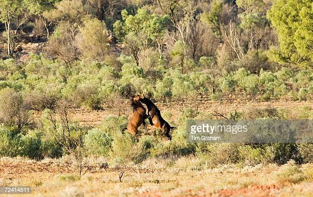 Mustangs fighting in the Red Centre Northern Territory Australia