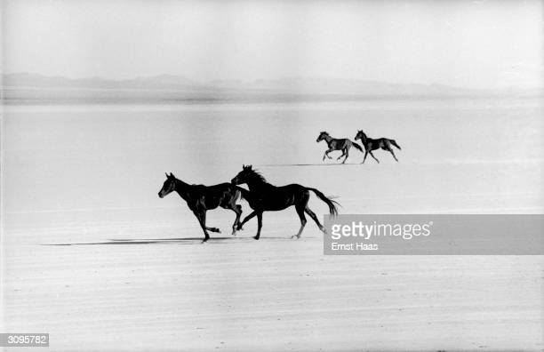 Mustangs galloping across the plains during the filming of John Huston's 'The Misfits' on location in the Nevada Desert