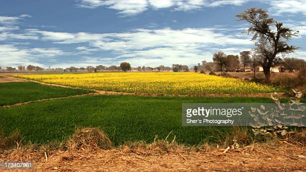 mustard | a bountiful crop - punjab pakistan stock photos and pictures