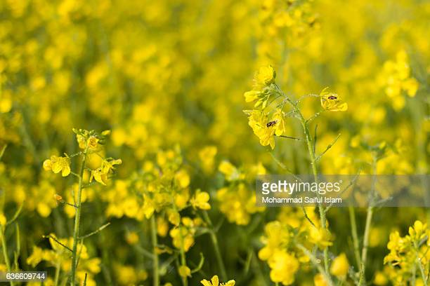 mustard agriculture farming, organic cultivation - bangladeshi flowers stock pictures, royalty-free photos & images