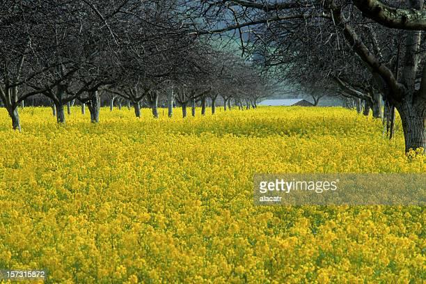 Mustard and Walnut Grove