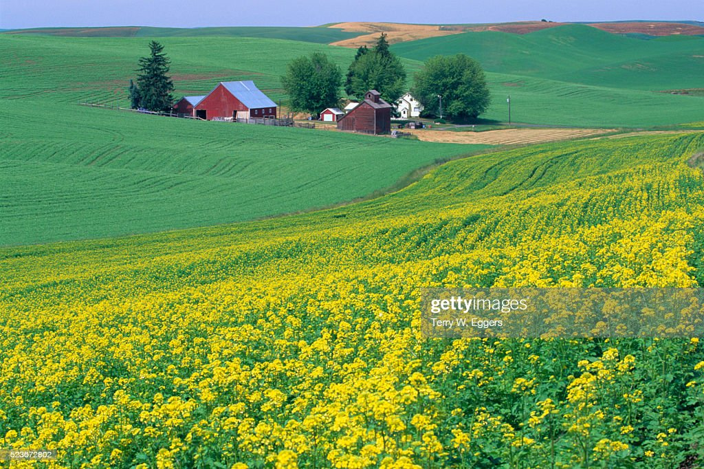 Mustard Crops Leading down to Farmhouse : Stock Photo
