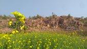 mustard field front mountains back landscape