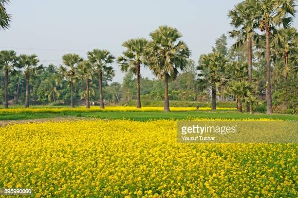 A mustard field at Faridpur Bangladesh