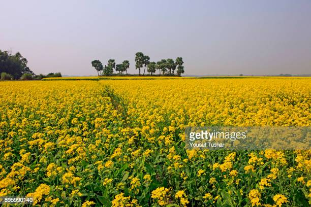 A mustard field at Faridpur Bangladesh