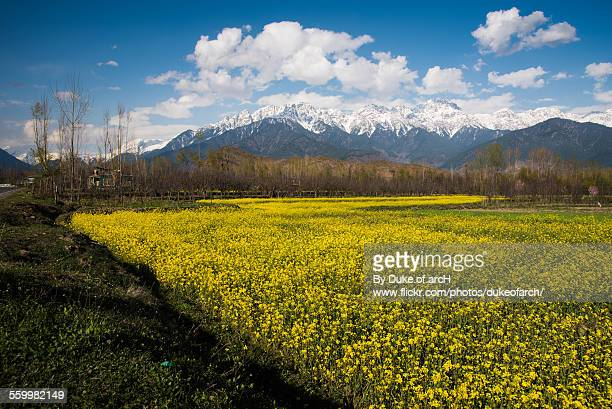 mustard field in srinagar : kashmir : india - kashmir valley stock photos and pictures