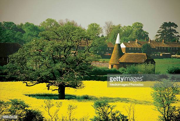 mustard field near a house, kent, england - kent county stock pictures, royalty-free photos & images