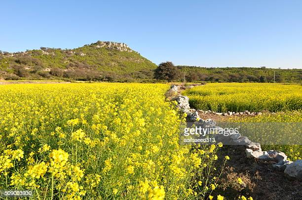 mustard field - punjab pakistan stock photos and pictures