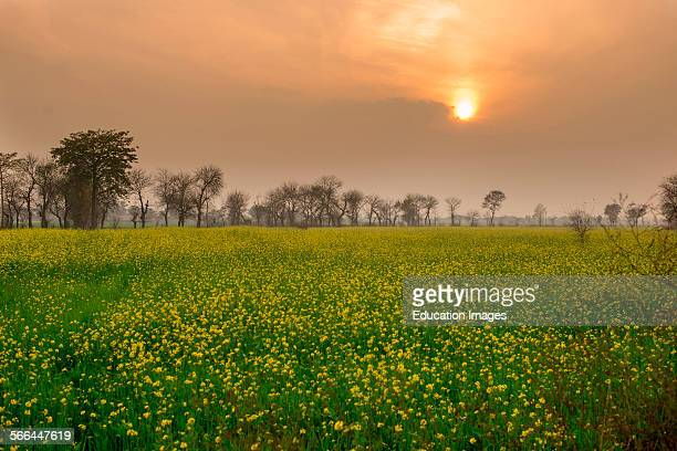 Mustard Fields Lahore Pakistan