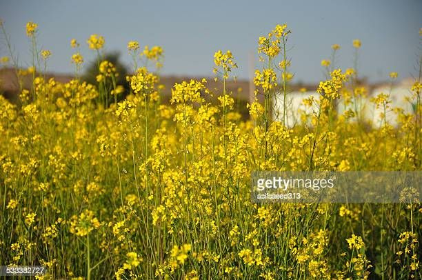 Mustard fields of Punjab