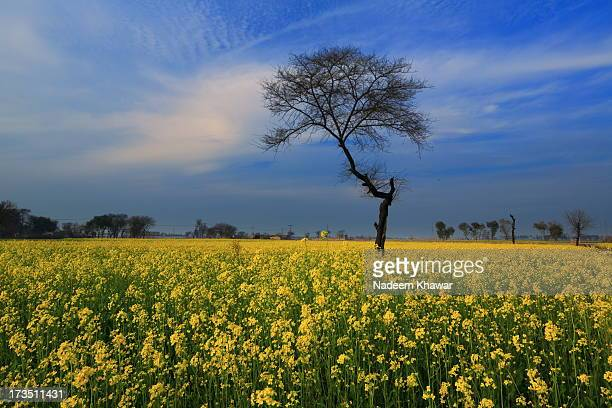mustard fields - punjab pakistan stock photos and pictures